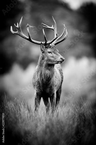 Photo sur Toile Cerf cerf gibier chasse animal cervidé cor bois herbe haute noir et blanc nb portrait brame