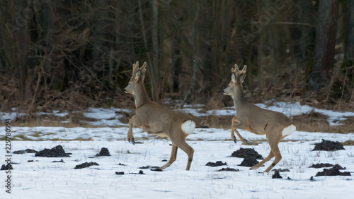 Males of Roe Deer in sync jumps on snow in front of trees of winter forest