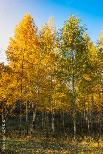 Autumn landscape - Beautiful birch grove on a sunny day