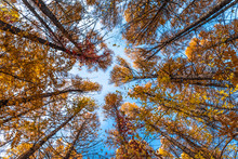 Branches Of A Tall Tree With Autumn Yellow Leaves - View From Below