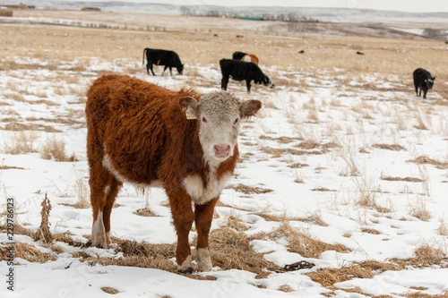 Photo Red and white Hereford cow looking at the camera full front and side view, in a