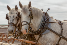 Team Of Percheron Horses Looking At The Camera Side View Torso And Head Only