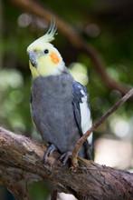Cockatiel (Nymphicus Hollandicus), Queensland, Australia