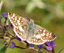 Female Common Checkered-skipper Butterfly On Purple Flowers