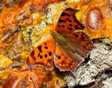 Dorsal View Of A Polygonia Interrogationis, Question Mark Butterfly, Feeding On Fermented Fruit On A Persimmon Tree Trunk