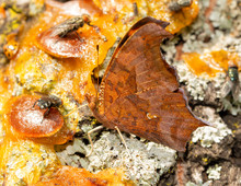 Ventral View Of A Question Mark Butterfly Feeding On Fermented Fruit Pulp For Minerals