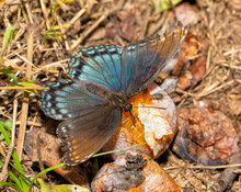 Red-spotted Purple Butterfly Feeding Juices And Nitrogen Off Of A Fermenting Persimmon Fruit