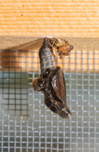 Viceroy Butterfly Chrysalis Hanging Down, Just Moments Before The Eclosion Of The Butterfly, With Wings Visible Through Chrysalis