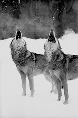 Portrait of two howling wolves. Wolf and she-wolf howling together. Black and white film photo