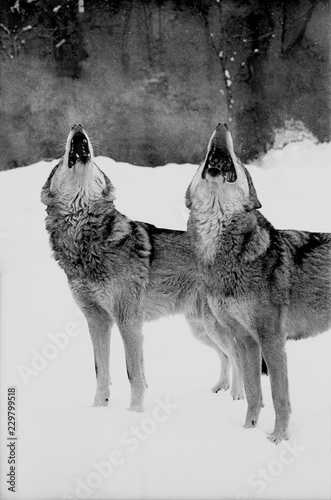 Fotografie, Tablou Portrait of two howling wolves