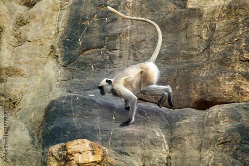 Galloping on the rocks monkey, hanuman langur