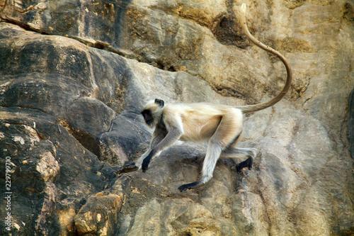 Foto op Canvas Aap Galloping on the rocks monkey, hanuman langur