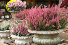 Pink Erica Gracilis Flowering Plant Family Ericaceae In The Beautiful Ceramic Flowers Pot At The Garden Shop.