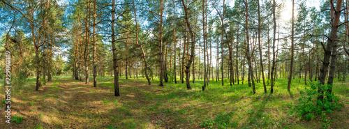 Aluminium Prints Birch Grove landscape pine forest panorama