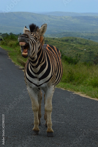 Wall Murals Zebra Shouting Zebra in South Africa