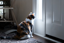 Sad, Calico Cat Sitting, Looki...