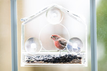 One Male Red House Finch Bird Sitting Perched On Plastic Glass Window Feeder During Sunny, Spring, Summer, Green Foliage, Leaves In Virginia
