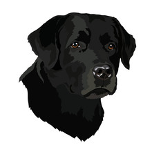 Head Of A Labrador Retriever Dog Portrait On A Black Background. Vector Illustration