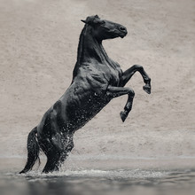 Black Horse In Water Like Blac...