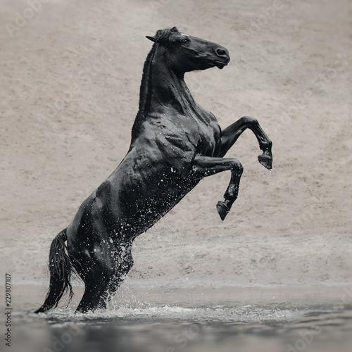 Photo  Black horse in water like black gold
