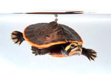Rotbauch-Spitzkopfschildkröte...