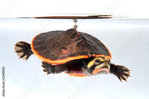 Fototapeta premium Rotbauch-Spitzkopfschildkröte (Emydura subglobosa) - żółw czerwonobrzuchy