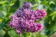 Beautiful bunch of lilac closeup