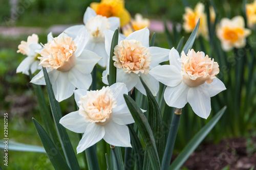 White narcissus (Narcissus poeticus) Canvas Print