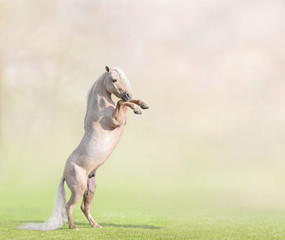 Palomino American Miniature Horse rearing with space for text.