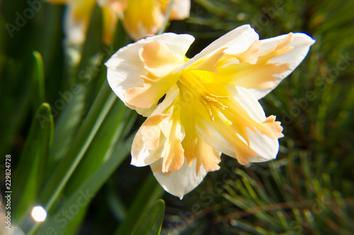 Closeup of yellow and white narcissus