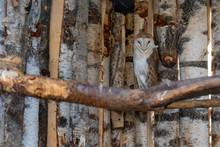 Wild Barn Owl Or Tyto Alba Per...
