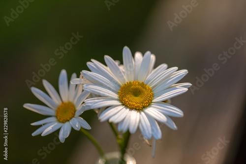 Foto op Plexiglas Madeliefjes Daisy