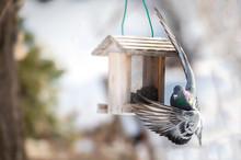 Pidgeon At A Bird Feeder In Winter
