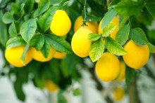Ripe Lemons Hanging On A Tree