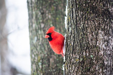 Funny One Red Northern Cardinal Bird, Cardinalis, Perched On Tree Trunk During Winter Snow Colorful In Virginia