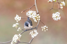 One Tufted Titmice Titmouse Tit Bird Perched On Tree Branch In Sunny Colorful Spring In Virginia, Cherry Blossom Flowers, High Angle View