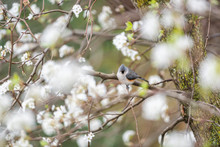 One Tufted Titmice Titmouse Tit Bird Perched On Tree Branch In Sunny Colorful Spring In Virginia, Bokeh, Cherry Blossom Flowers