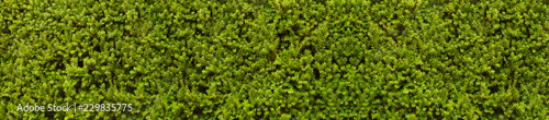 Poster Fleur Hedge composed of thousands of yew branches. A natural wall of green.