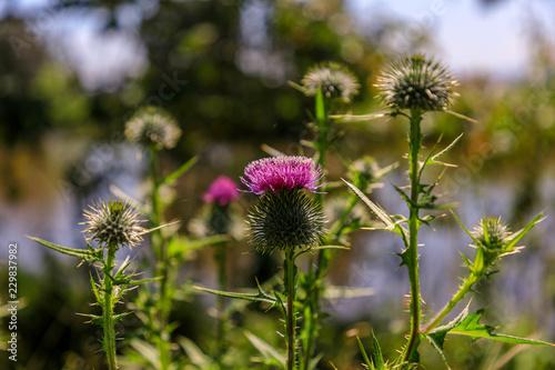 Photo  wild thistle flower