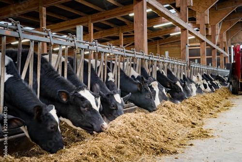 Rinder fressen Silage im modernen Rindviehstall, für Werbung, Marketing und Imagepflege