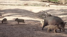 Boar Family Running Around In The Forest