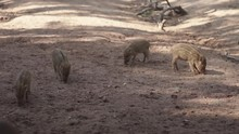 Baby Boars Searching For Food ...