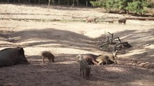 Baby Boars Getting Fed By Thei...