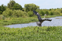 Great Blue Heron Taking Flight Over A Swamp
