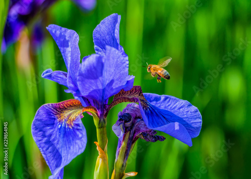 Deurstickers Iris flower iris and bee