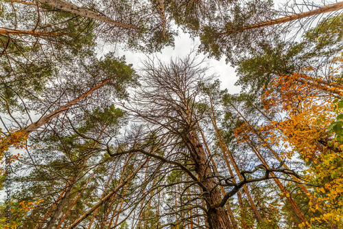 A view from below upwards on the crowns of coniferous trees in the autumn forest.