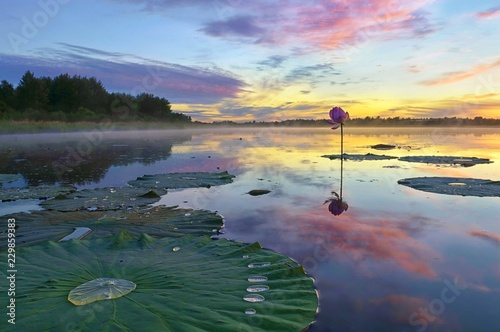 Photo Stands Water lilies Romantic sunset on the lotus pond. Khabarovsk region, far East, Russia.