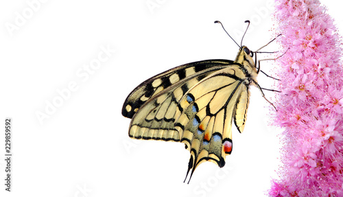 Cuadros en Lienzo Butterfly on a flower isolated on white