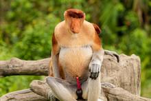 Portrait Of A Wild Proboscis Monkey In The Rainforest Of Borneo