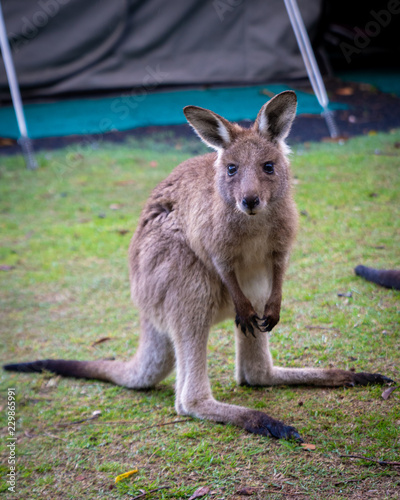 Foto op Canvas Kangoeroe Joey kangaroo staring at camera